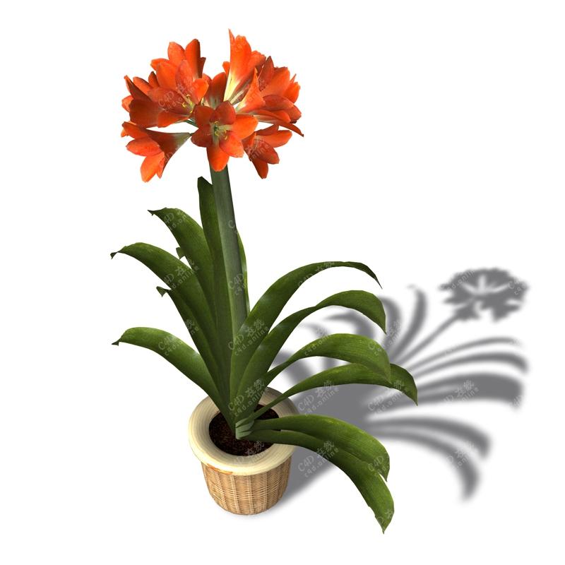 君子兰绿色盆栽植物模型